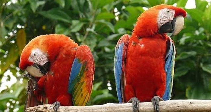 попугаи на острове саона