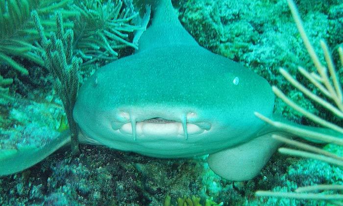 акула-нянька в Доминикане