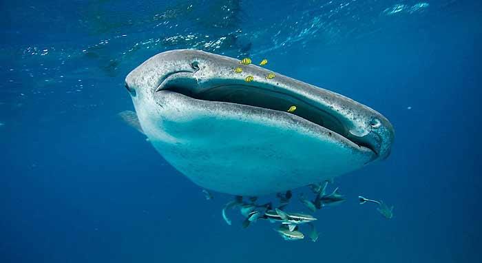 китовая акула в доминикане