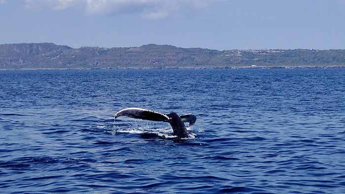 горбытые киты около острова Бакарди