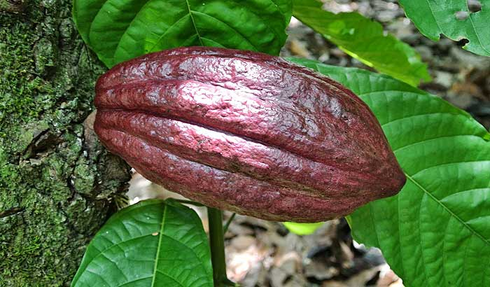 плод какао в доминикане