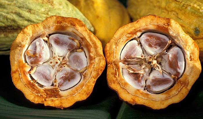 плод какао разрезанный пополам