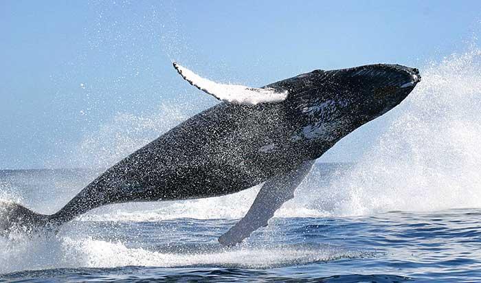 Горбатые киты приплывающие в Доминикану в марте на размножение